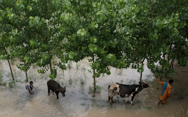 A man and his child walk livestock away from a flooded area of Jalabela Village, Peshawar, Pakistan, August 2, 2015. (Photo by Khuram Parvez/Reuters)