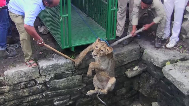 A two-year-old Asiatic lion cub is rescued from a well in the village of Amrapur western Indian on Saturday July 8, 2017 in this image taken video . The village is located about a hundred miles north of Gir National Park, the world's last refuge for wild Asiatic lions. (Photo by KK Productions via AP Photo)