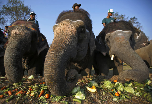 Elephants feed at a feast during the Elephant Festival event at Sauraha in Chitwan, south of Kathmandu December 27, 2014. (Photo by Navesh Chitrakar/Reuters)