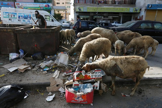 A Palestinian boy feeds his sheep with garbage on the street in Gaza City, Sunday, July 13, 2014. (Photo by Lefteris Pitarakis/AP Photo)