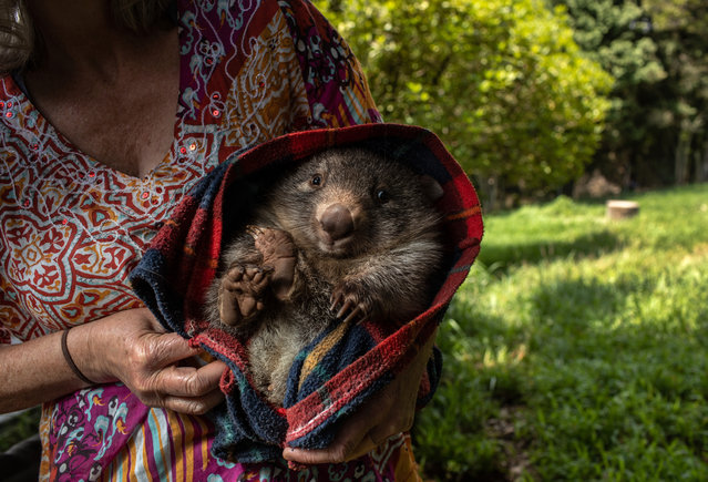 A wildlife caregiver holds an orphaned wombat at the Native Wildlife Rescue center on January 29, 2020 in Robertson, Australia. The center has taken in many burned kangaroos and wallabies injured in recent bushfires. Wombat orphans are often rescued from the pouch of their mothers struck by vehicles. (Photo by John Moore/Getty Images)
