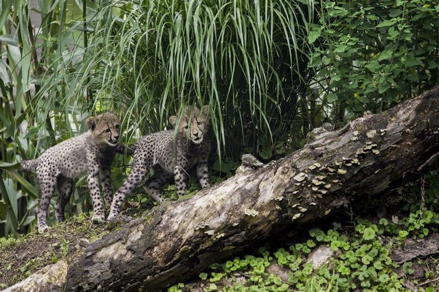 Three-month old cheetah cubs make their public debut at the Smithsonian National Zoo on July 24, 2012 in Washington, DC