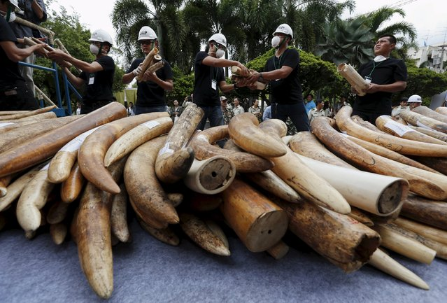 Officials hold confiscated elephant tusks before destroying the ivory at the Department of National Parks, Wildlife and Plant Conservation, in Bangkok, Thailand, August 26, 2015. About two tonnes (2,155.17 kg) of ivory were crushed and incinerated during the ceremony as part of a campaign against poachers, traffickers and traders involved in the illicit trade in ivory, according to a Department of National Parks, Wildlife and Plant Conservation press release. (Photo by Chaiwat Subprasom/Reuters)