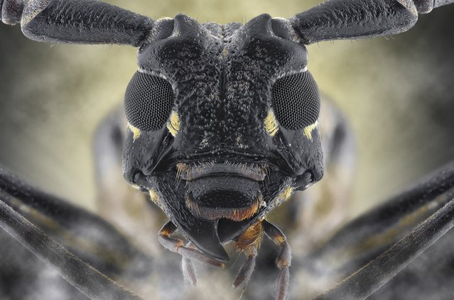 A close-up shot of a longhorn beetle on August 2014, in Banten, Indonesia.  Wildlife photographer takes incredible close-up images of tiny bugs. Yudy Sauw has captured close-up images of creepy crawlies – revealing their disturbing faces. The insects have an assortment bulging eyes and sharp pincers and look grotesque in the face-to-face shots. The miniature-models include a soldier fly, a red ant and a longhorn beetle. (Photo by Yudy Sauw/Barcroft Media)