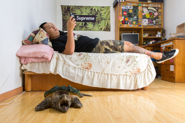 "Liu Zhaobei, 25, in his bedroom with an alligator snapping turtle (Macrochelys temminckii). Listed by the IUCN as vulnerable in the wild, the species is typically found in the south-eastern US states. Liu began collecting animals as a child and now has more than 30 different frogs, three alligator snapping turtles and numerous snakes and turtles. ""(collecting exotic pets) is becoming more popular. Even at my university there are courses about breeding exotic pets"". (Photo by Sean Gallagher/The Guardian)"