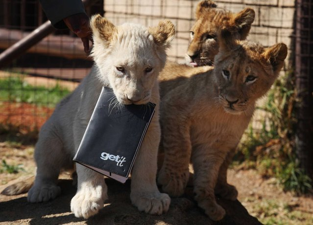 A white lion cub holds a notebook in his mouth, as three sibling cubs are introduced to the public, at the Johannesburg Zoo, South Africa, Wednesday, August 27, 2014. Three playful lion cubs made their public debut Wednesday, pouncing their way into a large enclosure at the Johannesburg Zoo. Their arrival heralds a new generation of lions at the zoo, which hasn't successfully bred the king of the jungle in five years. (Photo by Denis Farrell/AP Photo)