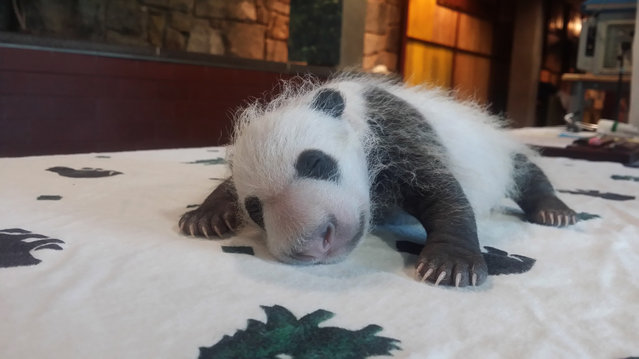 In this handout from the Smithsonian's National Zoo, a giant panda cub is seen at Smithsonian's National Zoo September 14, 2015 in Washington, DC. According to the zoo, the cub now weighs 881.5 grams or 1.9 pounds. (Photo by Erika Bauer/Smithsonian's National Zoo via Getty Images)