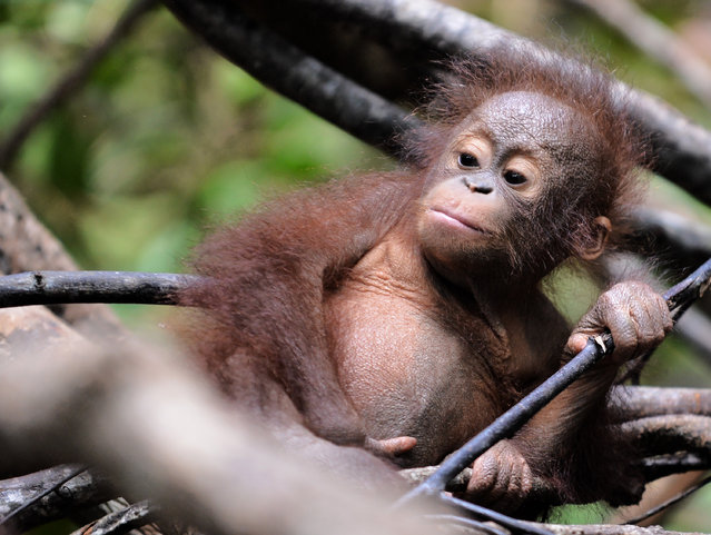 """This picture taken on August 4, 2016 shows an orphan orangutan baby playing in a tree whilst attending """"jungle school"""" at the International Animal Rescue centre outside the city of Ketapang in West Kalimantan. (Photo by Bay Ismoyo/AFP Photo)"""
