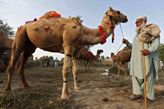 Camel is on sale at a market ahead of the Eid al-Adha festival in Peshawar, Pakistan, 12 September 2016. Eid al-Adha is the holiest of the two Muslims holidays celebrated each year, it marks the yearly Muslim pilgrimage (Hajj) to visit Mecca, the holiest place in Islam. Muslims slaughter a sacrificial animal and split the meat into three parts, one for the family, one for friends and relatives, and one for the poor and needy. (Photo by Bilawal Arbab/EPA)