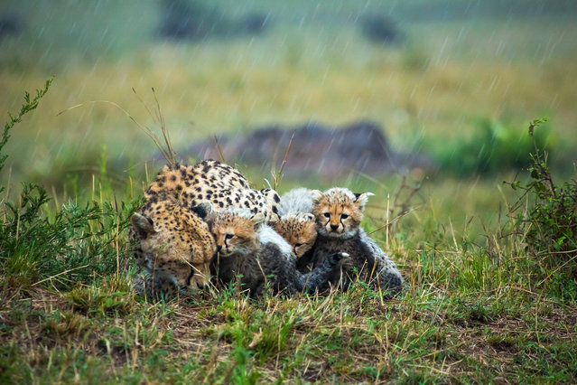 """Weather Together"". A cheetah and her cubs huddle together for warmth during one cold evening downpour. Photo location: Maasai Mara Reserve, Kenya. (Photo and caption by Zestin Soh/National Geographic Photo Contest)"