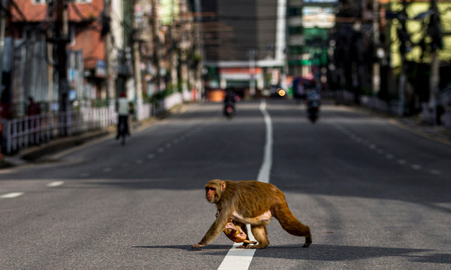 Monkey crosses the road during lockdown in Kathmandu, Nepal, 26 August 2020. The Kathmandu valley is under a complete lock down, in an eff​ort to combat the spread of coronavirus and COVID-19. (Photo by Narendra Shrestha/EPA/EFE)