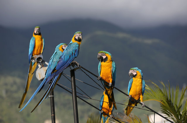 Macaws perch on a structure atop a building in Caracas, Venezuela. Macaws are thriving amid the high-rises and traffic of Caracas thanks to a group of amateur birders who feed them and watch out for their nests. (Photo by Ariana Cubillos/AP Photo)