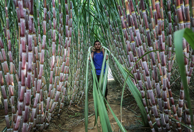 A Palestinian worker carries stalks at a sugar cane farm in the southern Gaza Strip city of Khan Yunis, on October 19, 2020. (Photo by Said Khatib/AFP Photo)