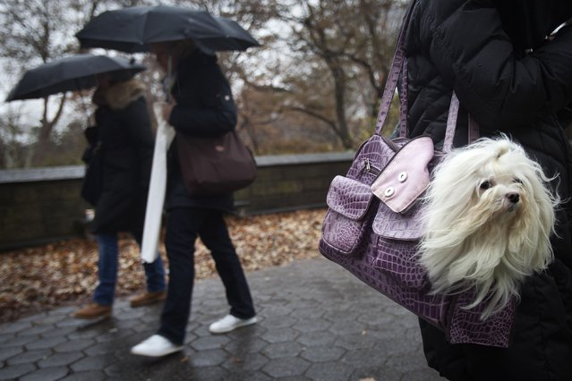 Emma the Maltese's fur blows in the wind as she rides in her owner's purse on 5th Avenue at Central Park in New York December 2, 2014. (Photo by Carlo Allegri/Reuters)