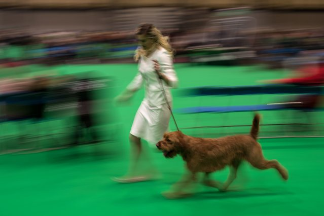 A woman runs with her Griffon Fauve de Bretagne dog before it is judged on the second day of the Crufts dog show at the National Exhibition Centre in Birmingham, central England, on March 9, 2018. (Photo by Oli Scarff/AFP Photo)