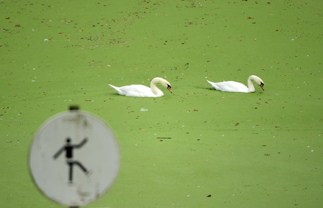 This photo taken on October 6, 2016 at the Bois the La Cambre (Wood of La Cambre) in Brussels shows swans swimming in a pond covered by duckweed or water lens. (Photo by Emmanuel Dunand/AFP Photo)
