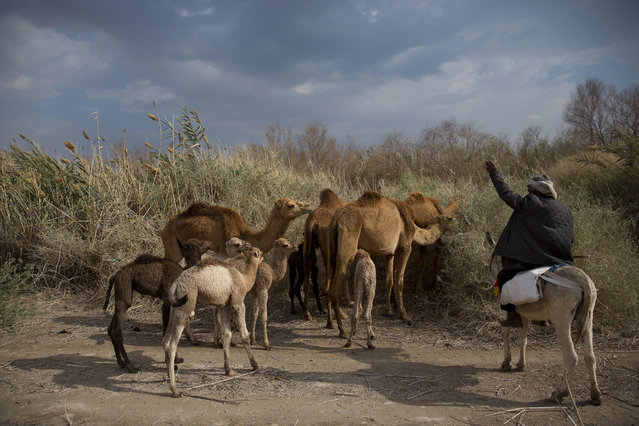 In this Sunday, February 18, 2018 photo, Palestinian camel herder Salem Rashaideh, leads the way for the camels in the territory of Israeli Kibbutz Kalya, near the Dead Sea in the West Bank. (Phoro by Oded Balilty/AP Photo)