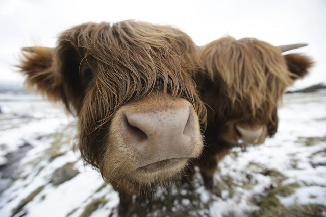 Highland cows are photographed as they graze in the Kilpatrick Hills near Glasgow, Scotland, Sunday March 18, 2018, as the cold snap keeps a grip of the UK. (Photo by John Linton/PA via AP Photo)