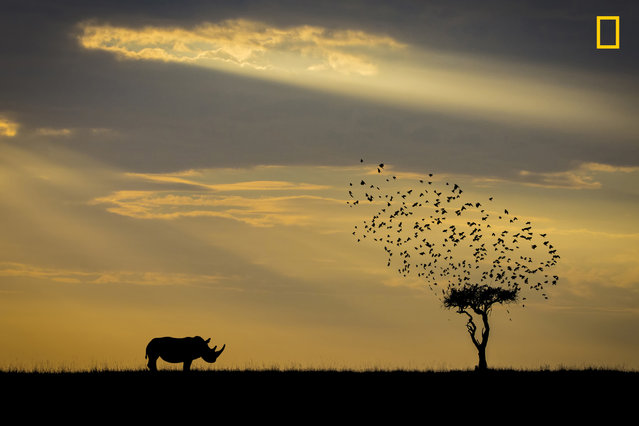 """Took an early ride out from the camp in Masai Mara national park, searching for the great migration, where I saw a rhino from far away standing beside a tree. The back lit from the early sun was too strong, so I took a silhouette instead"". (Photo by Khai Chuin Sim/National Geographic Travel Photographer of the Year Contest)"