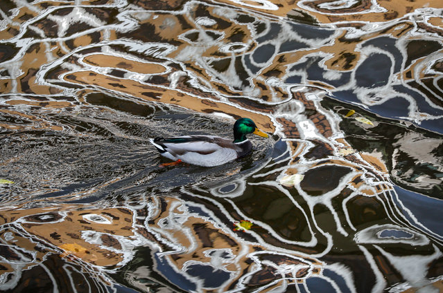 A duck swims in a river in which houses are reflected in the center of Moscow, Russia, 15 October 2020. (Photo by Yuri Kochetkov/EPA/EFE)