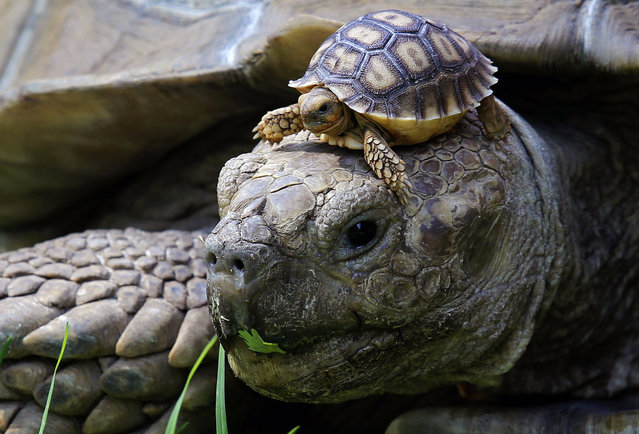 One of the five newborn African spurred tortoise (Centrochelys Sulcata) remains atop a male turtle, at the zoo, in Guadalajara, Mexico, Jalisco state, on May 17, 2018. (Photo by Ulises Ruiz/AFP Photo)