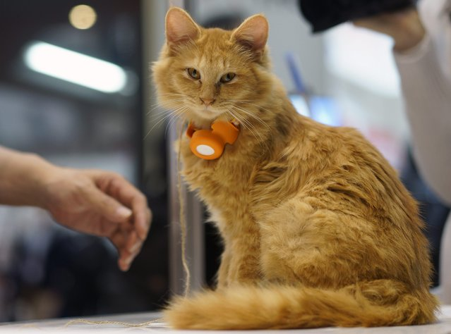 "A cat sits with a wearable terminal enabling communication via an app on mobile terminal at the Anicall Corporation booth during the Wearable Device Technology Expo in Tokyo, Japan, 14 January 2015. The device collects informations about the animal such as its location to interact with other pets and create a so-called ""social network"" for animals. (Photo by Franck Robichon/EPA)"