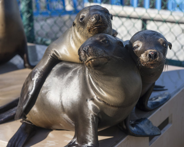 In this handout image provided by SeaWorld San Diego, California sea lion pups recover at SeaWorld San Diego's Animal Rescue Center January 27, 2015 in San Diego, California. The marine park, along with other rehabilitation facilities along the California coastline, is seeing a dramatic increase in the number of ailing sea lions stranded on beaches this year. (Photo by Mike Aguilera/SeaWorld San Diego via Getty Images)