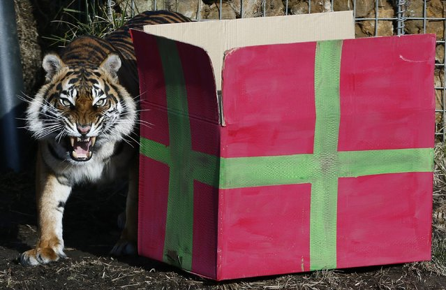 Sumatran tiger Melati walks past  a present box to celebrate the first birthday of her cub triplets in their enclosure at London Zoo in London, February 4, 2015. The Zoo left gifts for the cubs in their enclosure, but they were afraid to approach the boxes, leaving their mother to enjoy their contents. (Photo by Stefan Wermuth/Reuters)