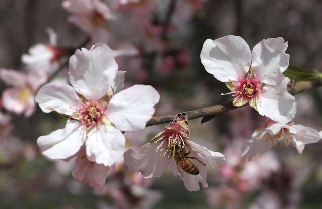 A honey bee sucks nectar out of an almond flower at a garden in downtown area of Srinagar, the summer capital of Indian Kashmir, 18 March 2021. Almond bloom heralds arrival of spring season in Kashmir after a long spell of winter. (Photo by Farooq Khan/EPA/EFE)