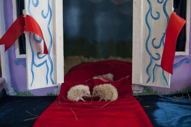 Albino hedgehog babies sit on a red carpet in front of their new home in a private Zoo in Moscow, Russia, Thursday, August 22, 2013. Three rare albino hedgehog babies, born on the same day as Britain's new prince, have moved into a miniature castle at a Moscow petting zoo. The three are named after the Prince of Cambridge – George, Alexander and Louis. On Thursday, when they turned one month old, they were shown their new home at the All-Russia Exhibition Center. (Photo by Alexander Zemlianichenko Jr./AP Photo)