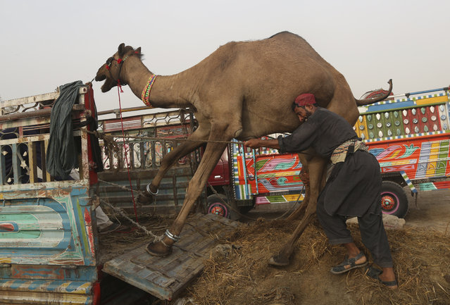 A Pakistani owner tries to load camel on a truck at a cattle market set up for the upcoming Muslim festival Eid al-Adha in Karachi, Pakistan, Friday, August 17, 2018. Eid al-Adha, or Feast of Sacrifice, most important Islamic holiday marks the willingness of the Prophet Ibrahim (Abraham to Christians and Jews) to sacrifice his son. (Photo by Shakil Adil/AP Photo)