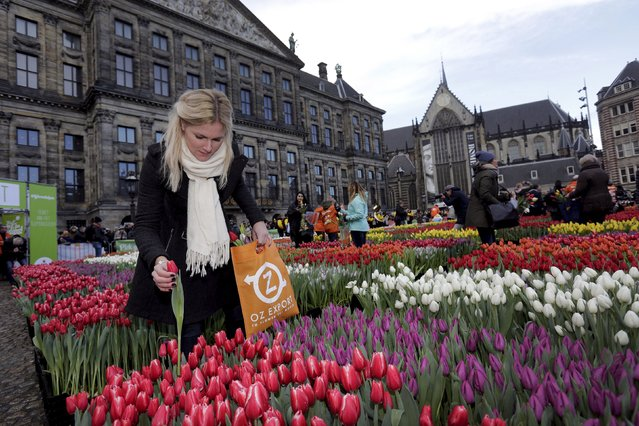 A woman picks tulips that were placed in front of the Royal Palace at the Dam Square to celebrate the beginning of the tulip season in Amsterdam, the Netherlands January 16, 2016. (Photo by Michael Kooren/Reuters)