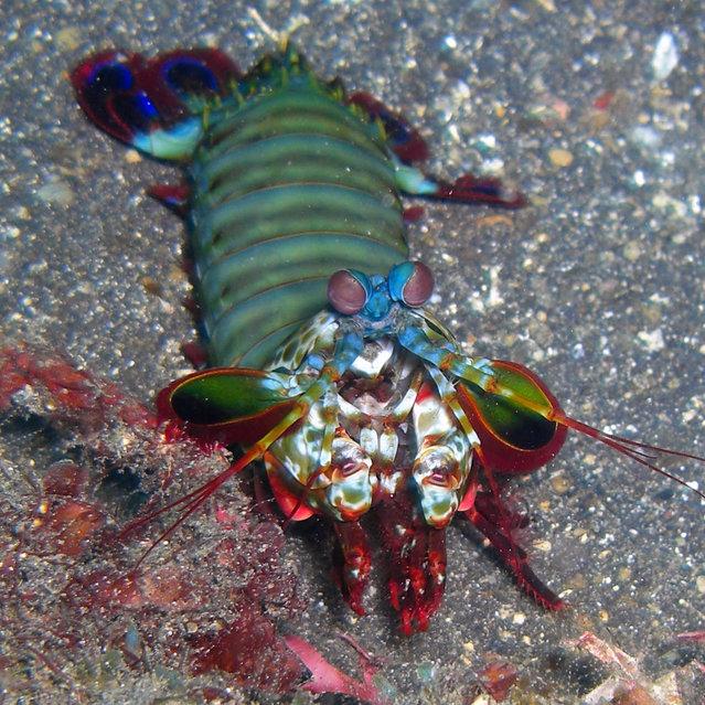 Mantis Shrimp or Crazy Rainbow Alien (Odontodactylus scyllarus). (Photo by David M. Hogan)