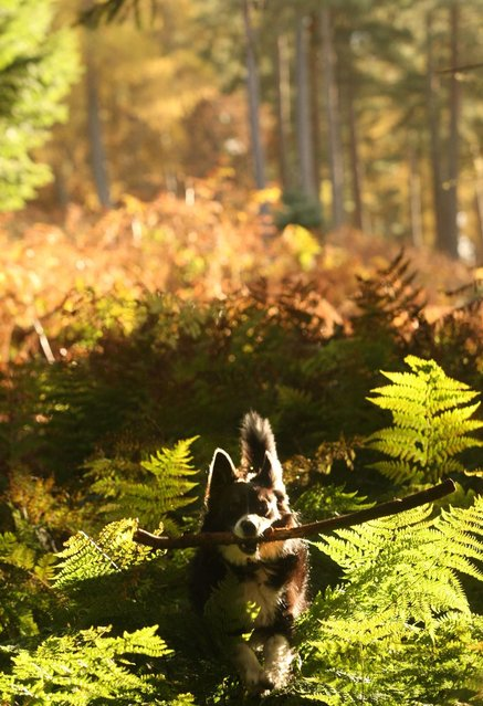 A dog runs through a wood in the Autumn light, Scottish Borders. (Photo by David Cheskin/PA Wire)