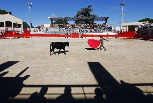 Nino, a ten-year-old toreador apprentice of the Nimes bullfighting school, nicknamed El Nino, performs a muleta pass during a beginner's bullfight (becerrada) at the bullring of Bouillargues, near Nimes, October 5, 2013. A muleta is a small cloth attached to a short tapered stick and used by a matador. Since 1983, the French Tauromachy Centre in Nimes has trained some 1,000 youths in the art of bullfighting. Twenty of them have gone on to become professional matadors, facing fighting bulls in the arena. Twice a week, students take courses with a matador to learn the movements and gestures of the bullfighter in the ring, but without an animal present. Students train with calves in the surrounding fields during spring, and regularly participate in beginner's bullfights (becerradas) without killing calves. Solal has been taking courses for three years and Nino, for just a year now. Both are normally enrolled in French public schools, but have one thought in mind – bullfighting. They share a passion linked to the city of Nimes, famous for its ferias and bullring. (Photo by Jean-Paul Pelissier/Reuters)