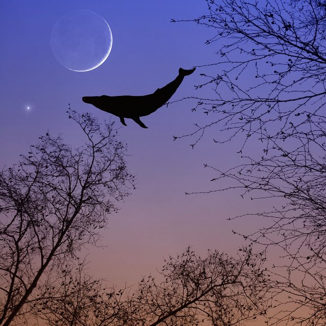A floating whale in the sky. (Photo by Ali Jardine/Caters News)