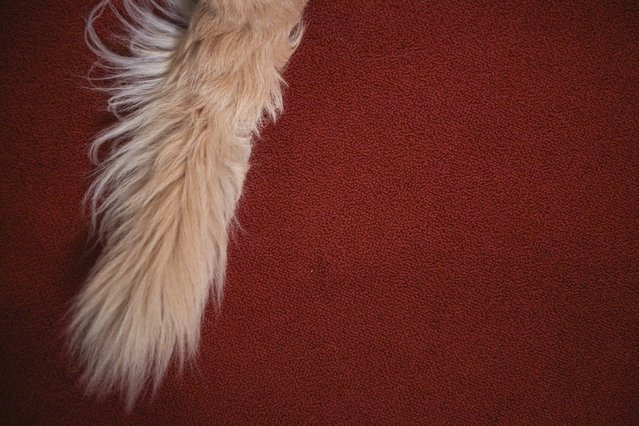A golden retriever's tail is pictured following a press event for the American Kennel Club to reveal the nations most popular dog breeds in the Manhattan borough of New York, February 22, 2016. (Photo by Carlo Allegri/Reuters)