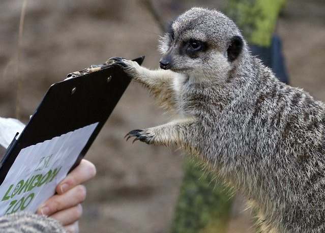 A Meerkat inspects a clipboard as a keeper counts them during a stocktake at London Zoo, Thursday, January 2, 2014. (Photo by Kirsty Wigglesworth/AP Photo)