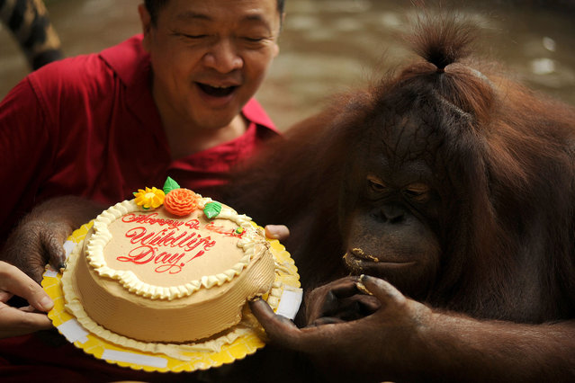 """Zoo owner Manny Tangco (C) presents a cake to a female orangutan named """"Marimar"""" at the Malabon Zoo in Manila on March 3, 2016, as the world celebrates 3rd World Wildlife Day. The day began in Florence, Italy, in 1931 at a convention of ecologists, whose intention was to highlight the plight of endangered species and October 4 was chosen as the date because it is the feast day of nature lover Francis of Assisi, the patron saint of animals and the environment. (Photo by Noel Celis/AFP Photo)"""