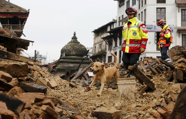 A rescue dog belonging to the group of ISAR Germany (International Search And Rescue) searches the rubble following Saturday's earthquake, in Kathmandu, Nepal, April 28, 2015. (Photo by Wolfgang Rattay/Reuters)