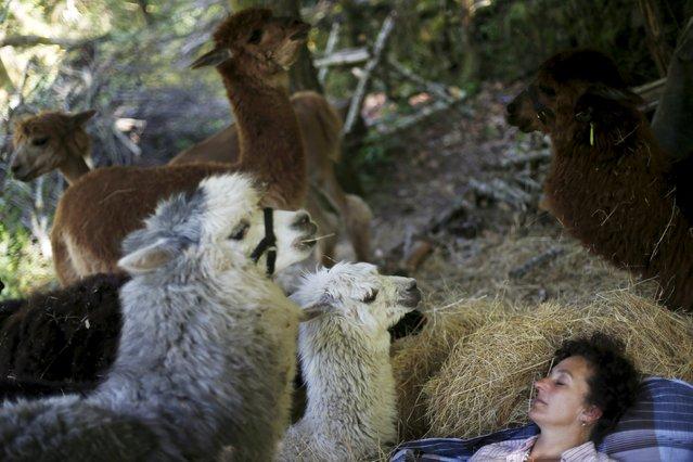 Lisa Vella-Gatt, 46, rests next to alpacas at her farm near Benfeita, Portugal May 11, 2015. (Photo by Rafael Marchante/Reuters)