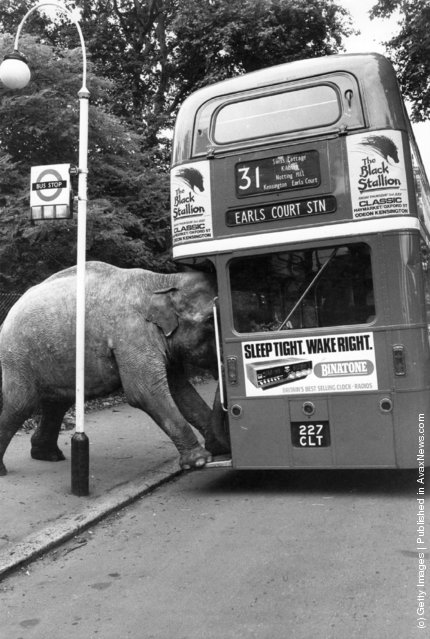 1980: One of David Smart's elephants boards the bus to Earl's Court