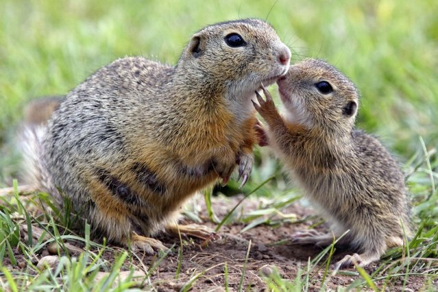 European ground squirrel with its young. (Photo by Stefan Meyers/Ardea Wildlife Pets Environment/Caters News)
