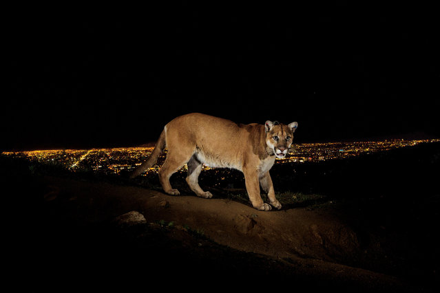 A male cougar, labeled P22, makes his way home from the Santa Monica Mountains to Griffith Park – an island habitat surrounded by homes and highways. (Photo by Steve Winter/National Geographic)