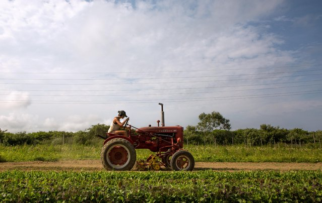 Farmer Isabel Milligan drives a tractor as she weeds and transplants crops on the farm in Amagansett, New York, U.S., July 11, 2019. Women and non-binary people are part of a growing cadre of gender-diverse college graduates in their 20s and 30s who are changing the face of organic agriculture, running some of the best-known organic farms on Long Island. (Photo by Lindsay Morris/Reuters)