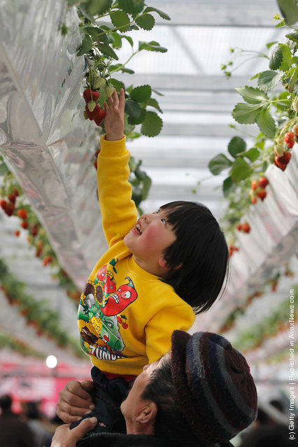A girl reaches for fresh strawberries at the 7th International Strawberry Symposium in Beijing