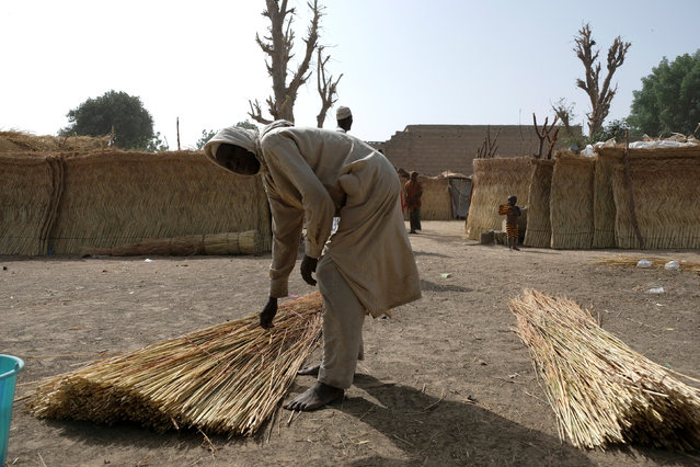 A refugee gathers thatch for the makeshift shacks at Muna Garage in the city of Maiduguri, Nigeria February 16, 2017. (Photo by Paul Carsten/Reuters)