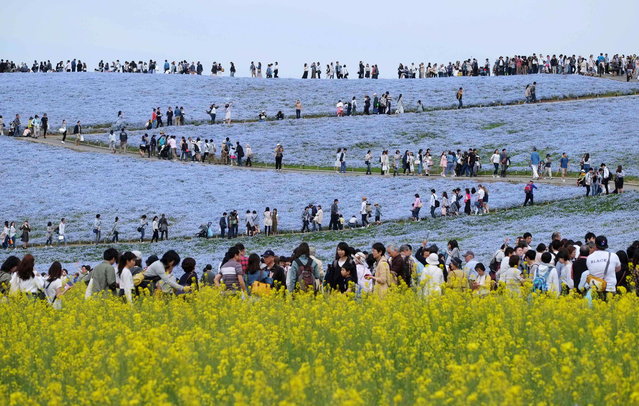 People walk on a hill covered with nemophila flowers in full bloom at Hitachi Seaside Park in Hitachinaka, Ibaraki Prefecture on May 3, 2017. Visitors to the park can witness an estimated 4.5 million nemophila in bloom until the end of May. (Photo by Kazuhiro Nogi/AFP Photo)