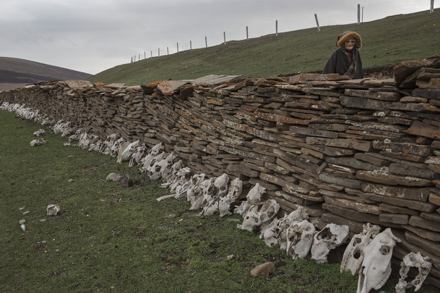 An elederly Tibetan nomad woman walks past horse skulls used for prayer at a temporary camp for picking cordycep fungus on May 22, 2016 on the Tibetan Plateau near Sershul in the Garze Tibetan Autonomous Prefecture of Sichuan province. (Photo by Kevin Frayer/Getty Images)