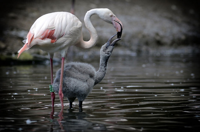 A flamingo with its chick at Jihlava zoo, in the Czech Republic on  July 13, 2017. (Photo by Slavek Ruta/Rex Features/Shutterstock)